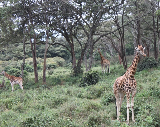 Giraffe at giraffe centre Nairobi.